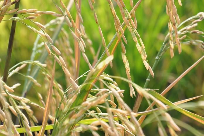 PHT tanaman padi
