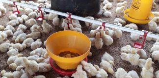 kenaikan harga ayam