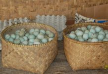 mengawetkan telur itik