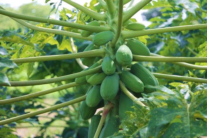 buah pepaya