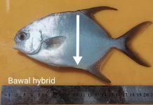 bawal hybrid