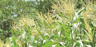 limbah tanaman jagung