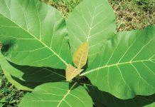 tanaman sela jati