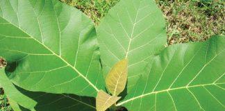 benih pohon jati