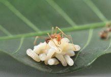 koloni semut rangrang