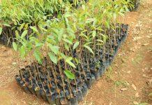 tanaman durian