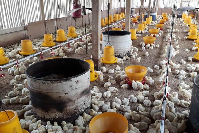 Hal-hal yang Harus Diperhatikan dari Konstruksi Kandang Ayam Broiler