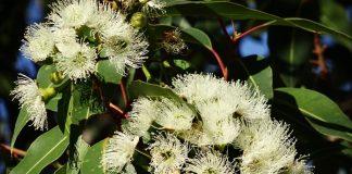 penelitian eucalyptus