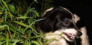 anjing makan rumput