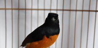 burung ocehan