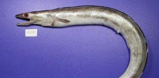ikan malong