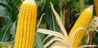 menanam jagung di polibag