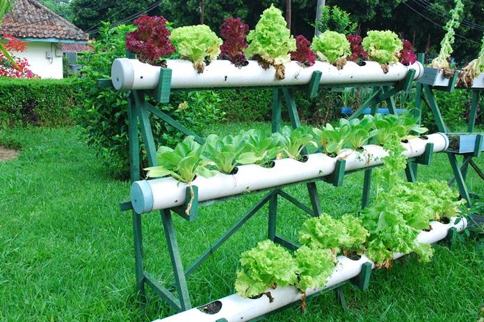 merawat tanaman sayur