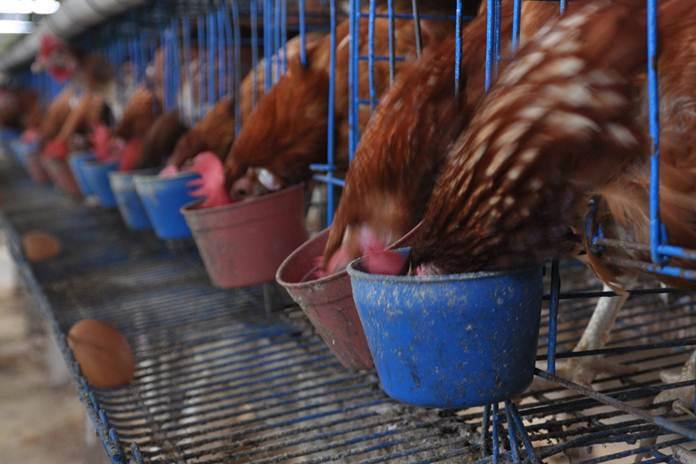 Pakan Sumber Protein Nabati untuk Ayam