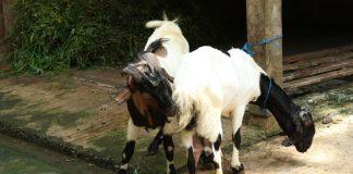 kambing birahi