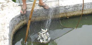 Pembudidaya ikan