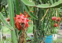 pengemasan buah naga