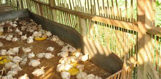 risiko ternak ayam broiler