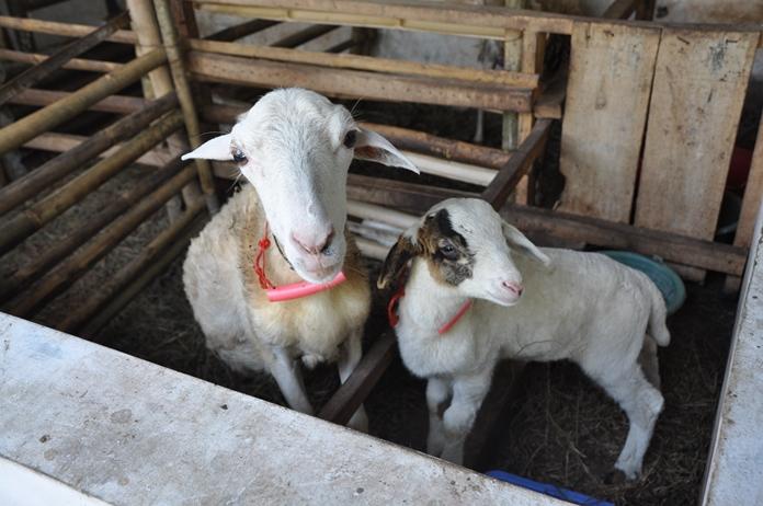 Perkawinan pertama domba