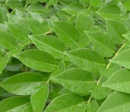 daun gamal