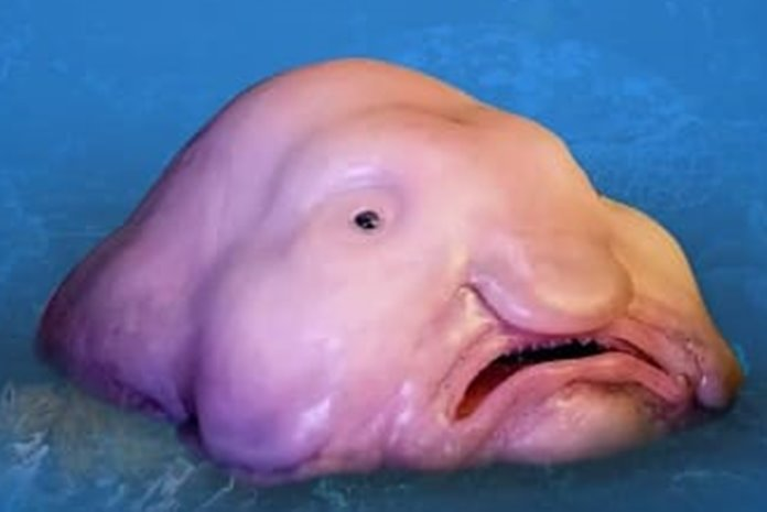 ikan buruk rupa