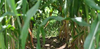 tanaman jagung sakit