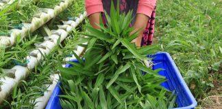 sayuran organik hidroponik