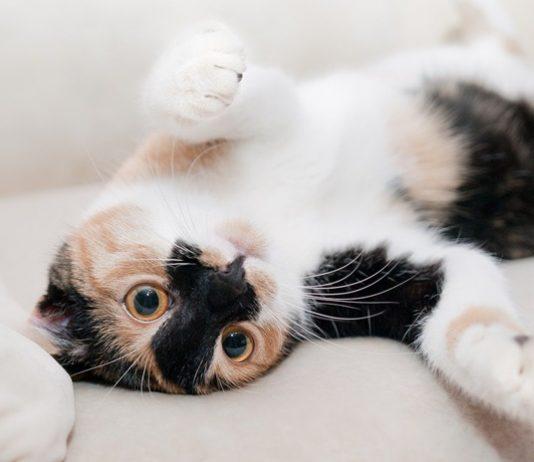 menjinakkan kucing