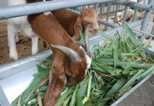 nafsu makan kambing