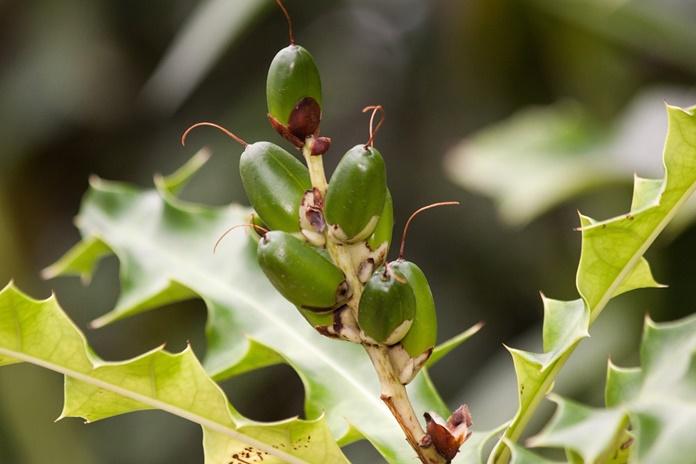 tanaman daruju