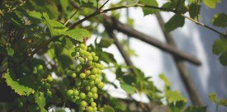 menanam anggur di pekarangan