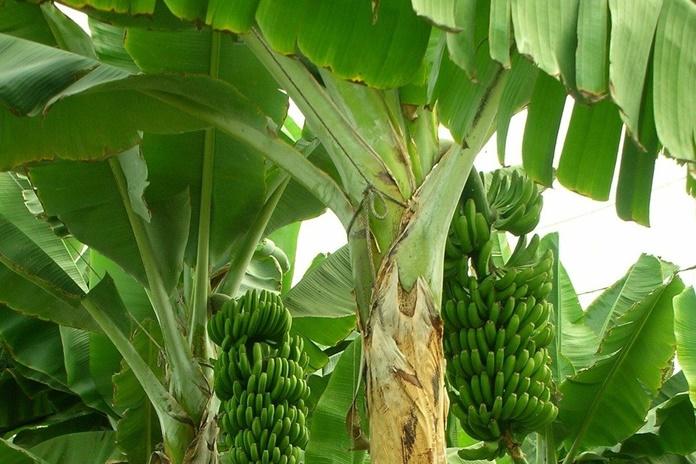 produksi pisang