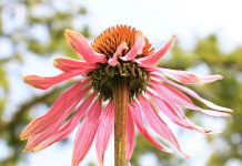 bunga echinacea