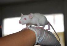 ternak tikus putih