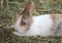 perkawinan kelinci