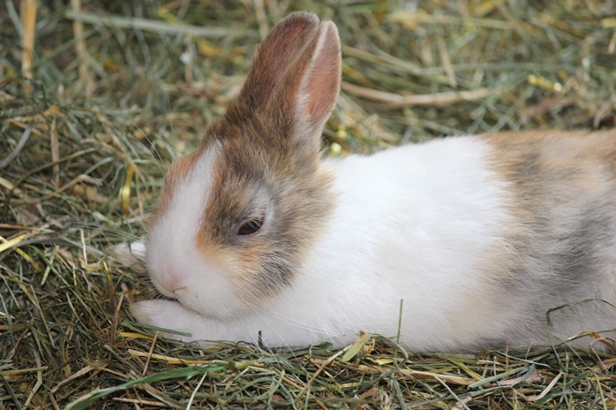 penyakit kelinci