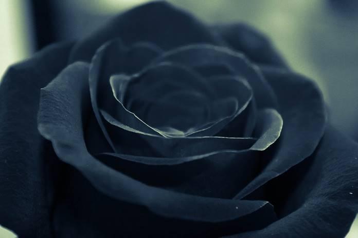 bunga mawar hitam