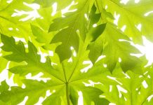 khasiat daun pepaya