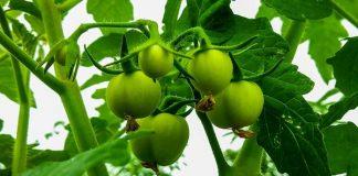 pupuk dasar tanaman tomat