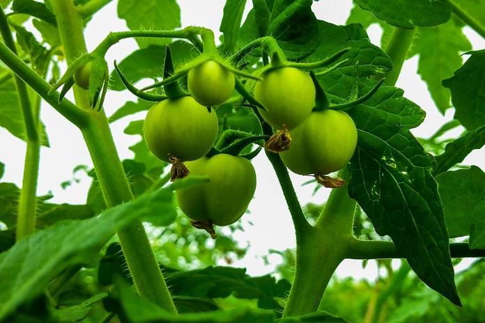 memelihara tanaman tomat