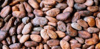 fermentasi biji kakao