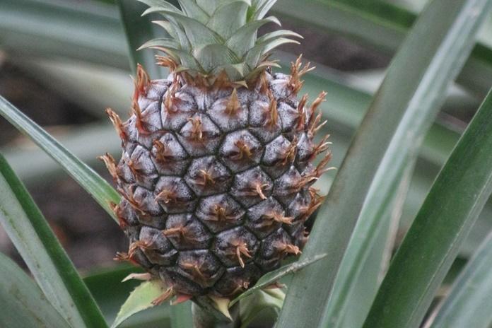hama tanaman nanas