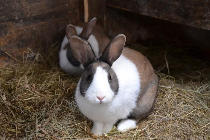 ekspor kelinci