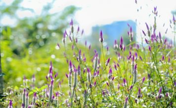 tanaman boroco