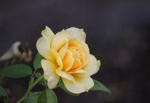 menanam bunga mawar